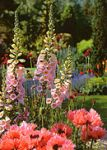 Birthday Card - Foxgloves in the Border Garden - Country Cards