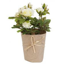 White Rose Flower in Pot